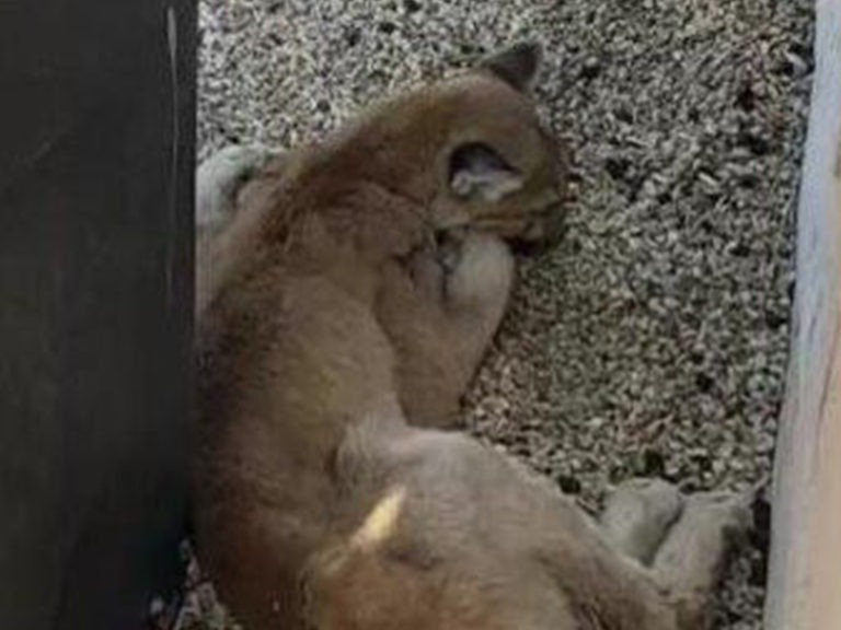 Mountain lion captured at California condo complex