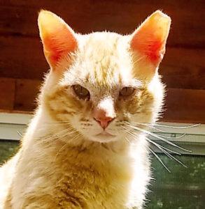 Opie - Male, DSH Orange Tabby