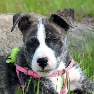 Quartz - Female, Terrier Mix
