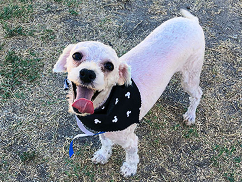 Micky - Poodle Miniature mix / white