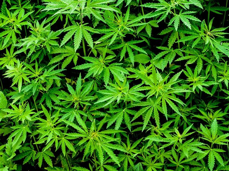 Illegal Marijuana Grow Operation