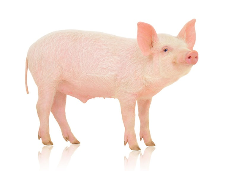 US regulators OK genetically modified pig for food, drugs