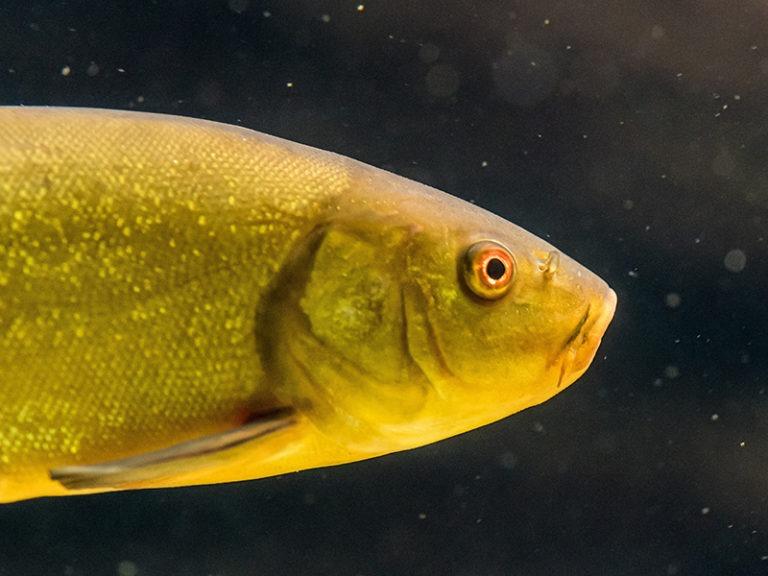 US proposes removing Colorado River fish's endangered status